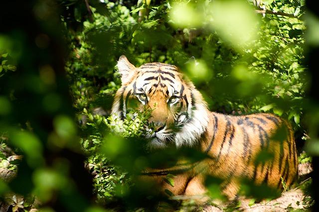 tiger-1575589_640