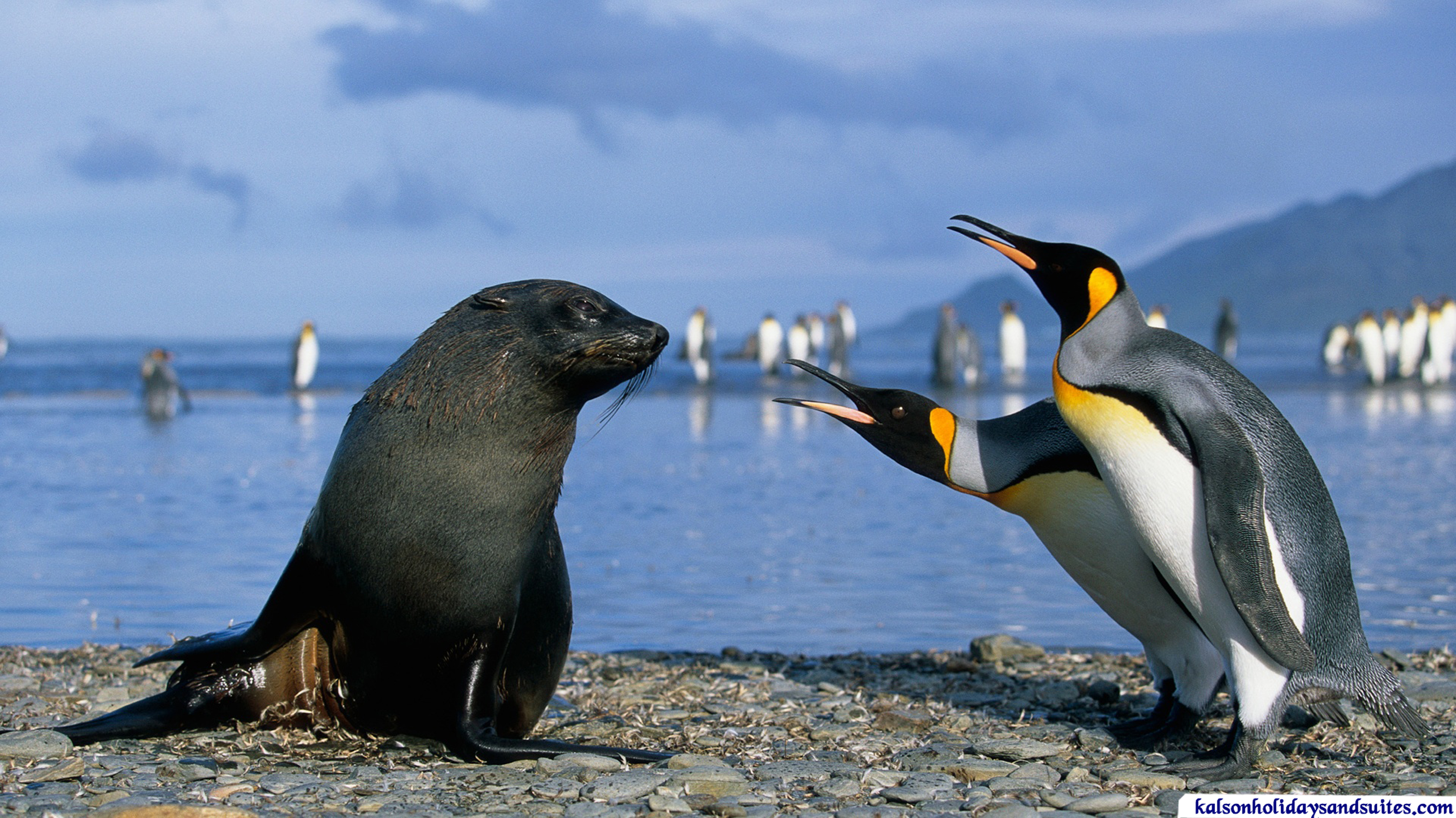 Kalson-two_king_penguins_and_a_seal_antarctica